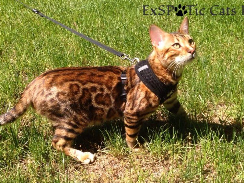 Connecticut Bengal Breeder | Bengal Kittens | ExSPOTic Cats