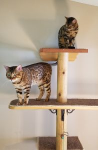 Bengals playing on climber